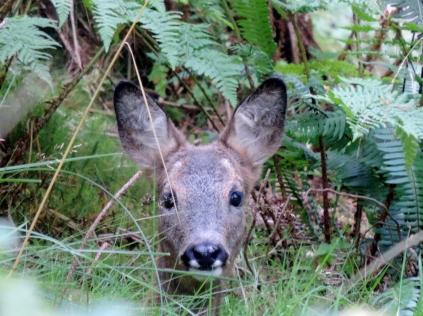 Deer, Templeton Woods