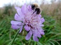Bee on flower, Birdgefoot