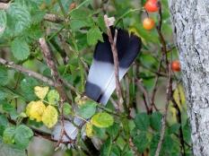 Feather stuck in bush, Bridgefoot