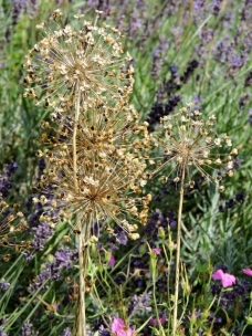 Delicate seed heads