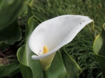The zantedeschia flowers