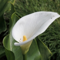 The zantedeschia flowers