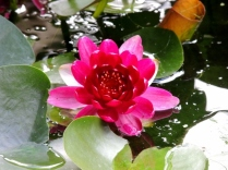 Water lily in the cottage garden