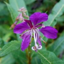 Flower on the old Dundee-Newtyle Railway