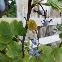 Berries in front of old railway sleepers