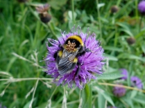 Bee on flower Flower on the old Dundee-Newtyle Railway