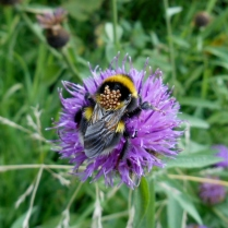 Bee on flower Flower on the old Dundee-Newtyle Railway