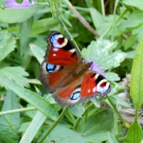Butterfly on the old Dundee-Newtyle Railway