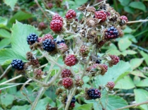 Blackberries on the old Dundee-Newtyle Railway