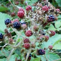 Blackberries on the old Dundee-Newtyle Railway