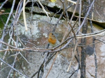 A robin on the railway loop, Newtyle