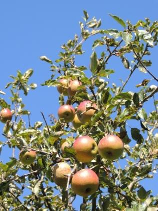 Apple Tree Copyright Stephanie Woods