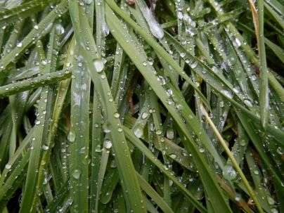 Raindrops on grass in Backmuir Wood