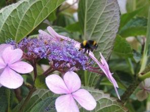 A bumblebee on a hydrangea