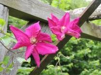 Dark pink clematis on the trellis