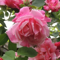 Pretty pink roses on the trellis