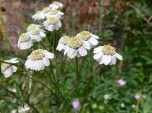 Sneezewort Yarrow by http://www.wildflower.org.uk