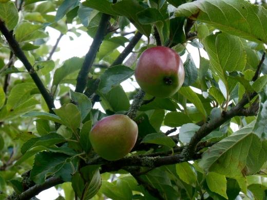 Apples on the old Dundee-Newtyle railway