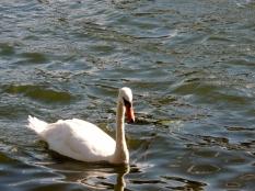 Swan by Stephanie Woods