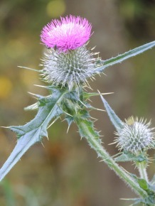 Scottish thistles by
