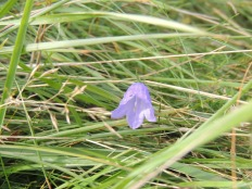 Harebell or Scottish Bluebell