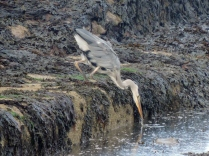 A heron, St Andrews