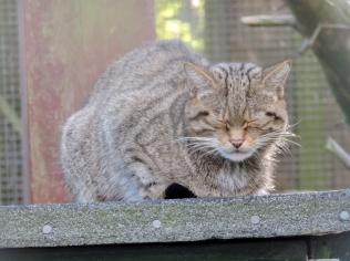 Wildcat, Camperdown Wildlife Centre