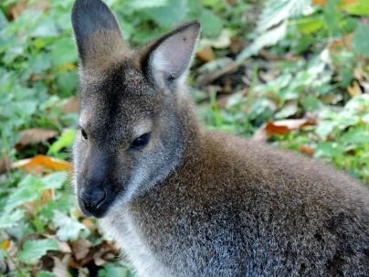 Wallaby, Camperdown Wildlife Centre