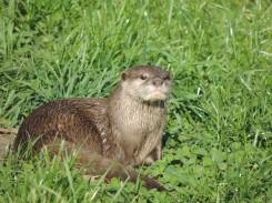 Otter, Camperdown Wildlife Centre