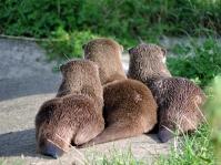 Otters, Camperdown Wildlife Centre