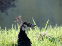 Peahen, Camperdown Wildlife Centre