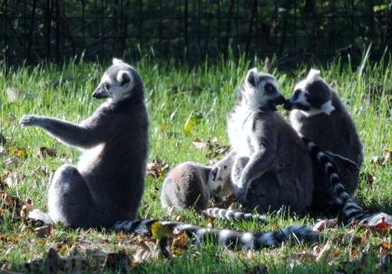 Lemurs, Camperdown Wildlife Centre