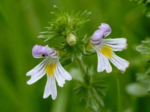 Common Eyebright from http://www.herbalbiosolutions.us