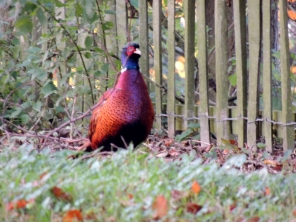 A cheeky pheasant who kept running away from the camera