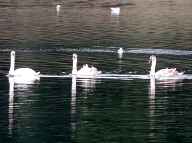 Cygnets on Clatto reservoir