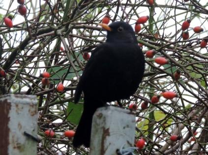 Blackbird by Clatto reservoir