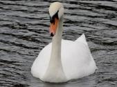 Swan on Clatto reservoir