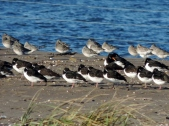 Oyster catchers at Tentsmuir