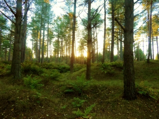 Tentsmuir forest at sunset