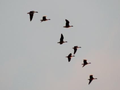 Geese over Bridgefoot