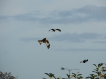 Three red kites