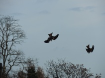 Diving red kites
