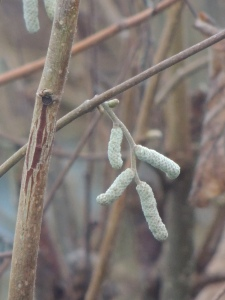 Hazel Catkins by Stephanie Woods