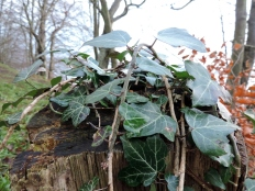 Ivy-covered post