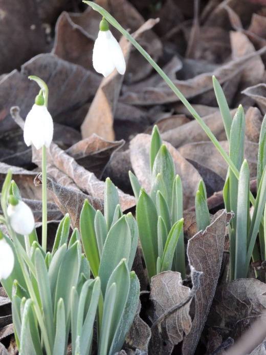 Snowdrops by Stephanie Woods