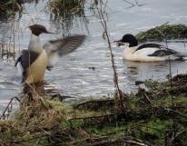 Ducks on the Dichty