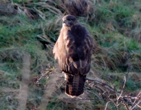 Buzzard by the Dichty