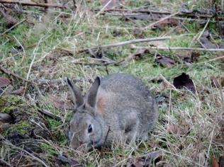 Rabbit in Bridgefoot