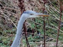 Heron in Bridgefoot