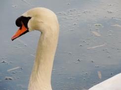 Swan on Trottick Mill Ponds